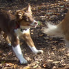 BAXTER (australian shepherd pup)  (10/20/07)
