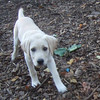 ZOE (yellow lab pup, 13 or 14 weeks)