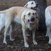 MOLLY, TARA, BABY (yellow lab housemates)