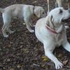 MOLLY & ZOE (yellow lab pup).