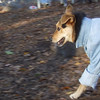 MADDIE (indiana stockdog) (jacket)