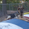 KAISER (german shepherd pup) TUBE