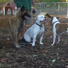 RAYNE (tervuren), ROSCO (bulldog 1.5 yrs.), AVERY (pitbull mix)