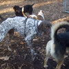 CHANCE or CREEDE (male german short haired pointer), MADDIE, REX