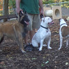 RAYNE (tervuren), ROSCO (bulldog pup,1.5 yr), AVERY (pitbull mix)