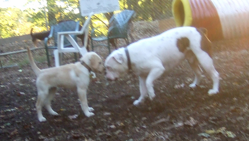 ZOE (yellow lab pup), ROSCO (bulldog 1.5 yr.)