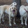 MOLLY, BABY, TARA (yellow lab housemates)