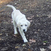 ZOE (yellow lab pup, 13 or 14 wks).