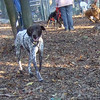 CREEDE or CHANCE (german short haired pointer, littermate, male)