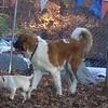 ZOE (yellow lab pup), FINN (st bernard pup)