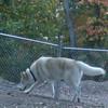 JUNO (alaskan husky, 1.5 yrs boy) (NYC VISITER)