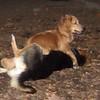 LUNA (cockapoo pup), MADDIE (indiana stockdog)