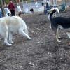 JUNO (alaskan husky), MADDIE (indiana stockdog)