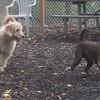 WALLY (golden doodle pup), MOCHA (1 yr. mongrolian muttworthy).