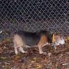 KAYLA (11 yr. beagle, 1st time)
