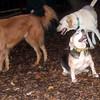 KAYLA (11 yr. beagle, 1st time), DAKOTA, BUTCH.