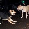 LUCY (pitbull), MADDIE (indiana stockdog) PLAYMATES