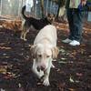 DUKE (yellow lab pup)