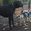 MADDIE (cowgirl),  HARLEY (great dane)