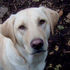 BARNI (yellow lab, smouldering bombshell)