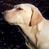 BARNI (yellow lab girl)