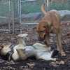 BUFFY (ridgeback mix girl), MADDIE (indiana stockdog) PLAYMATES