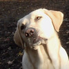 BARNI (yellow lab) (ready for close-up).