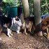 BUD (bull terrier mix) & BUFFY (ridgeback mix)