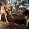 BUFFY (ridgeback mix) , MADDIE (indiana stockdog)