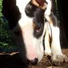 BUD (bull terrier mix)