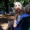 BAILEY (goldendoodle) (hugger)