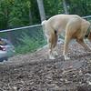 HARLEY (yellow lab boy), MADDIE (indiana stockdog)