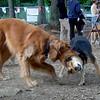 DAKOTA (golden retriever boy), MADDIE (indiana stockdog) PLAYMATES