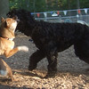 FOXI (shiba inu), STORM (portuguese water dog) (09-02-07)
