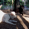 BAILEY (goldendoodle),  MADDIE  (indiana stockdog)