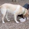 BEAR (kelpie pup), LUNA (yellow lab)