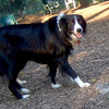 BARCLAY (border collie)