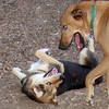 BUFFY (ridgeback mix), MADDIE (indiana stockdog) PLAYMATES