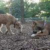 Chase (terrier) & FOXI (shiba inu)