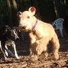 CHASE (terrier), Mya, Maddie