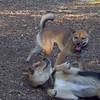 Foxi (shiba inu) & Maddie (stockdog)