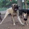 Foxi (shiba inu), Rocky (eng. mastiff, pup)