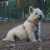 MAXIE (14 years, cairn terrier)