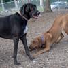 EBBERSTON (ridgeback pup),  MOJO (wonder hound)