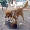 DAKOTA (golden retriever),  MADDIE  (indiana stockdog) PLAYMATES