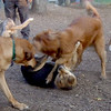 DAKOTA (golden retriever,  MADDIE  (indiana stockdog) , BUFFY (ridgeback mix) PLAYMATES