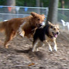 DAKOTA (golden retriever,  MADDIE  (indiana stockdog) (chase) PLAYMATES