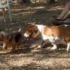 ROMEO,  BUSTER (basset Hound Pup)
