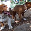 CHIP (staffie),  BUSTER (basset Hound Pup)