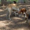 MAX, ROMEO,  BUSTER (basset Hound Pup)